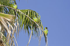 Nanday Conures Stockfoto