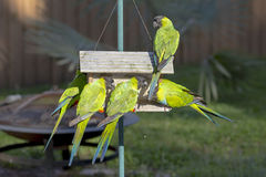 Nanday Conures Stock Images