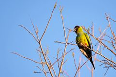 Nanday Parakeet, Aratinga Nenday, also known as the Black-hooded Parakeet or Nanday Conure, Pantanal, Brazil royalty free stock images