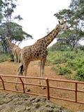 Nandi la jirafa fotografía de archivo