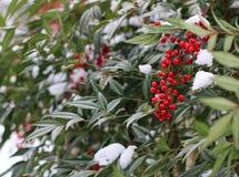 Nandina灌木用红色莓果和雪 图库摄影
