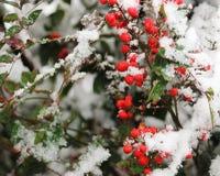 Nandina Berries roja en la nieve Fotografía de archivo