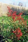 Nandina Domestica с ягодами Стоковые Изображения RF