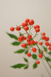 Nandina domestica. Nanten, is Japanese lucky plant for new year Stock Images