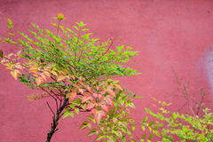 Nandina domestica Royalty Free Stock Images