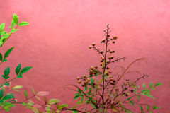 Nandina domestica Stock Photography