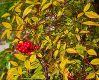 Nandina domestica. Commonly called heavenly bamboo stock images