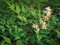 Nandina domestica. Flower of Nandina domestica royalty free stock photos