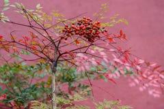 Nandina domestica  fruits Stock Image