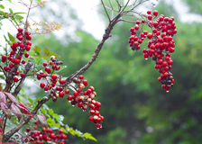 Nandina domestica. An image of Nandina domestica with water droplet royalty free stock photos