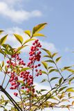 Nandina Domestica part of shrub with blue sky background. Nandina Domestica shrub viewed from below close up with red berries and leaves and blue sky background stock photography