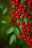 Nandina domestica. red berries of Japanese Sacred Bamboo Royalty Free Stock Images