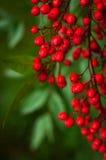 Nandina-domestica. rote Beeren des japanischen heiligen Bambusses Lizenzfreie Stockbilder
