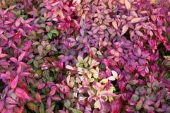Nandina Foliage. The distinctive fiery foliage of the Nandina plant Stock Image