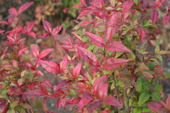Nandina. Leaves of a nandina bush in the fall Royalty Free Stock Images