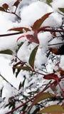 Nandina Leaves en la nieve Foto de archivo