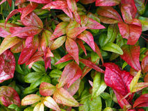 Nandina Royalty Free Stock Photos