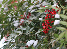 Nandina Shrub with Red Berries and Snow. Domestic Nandina Shrub with Red Berries and Green Leaves with Snow Stock Photography