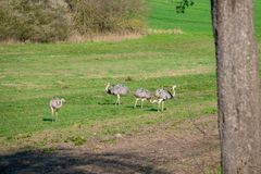 Nandu family standing on a meadow in the morning looking for food royalty free stock image