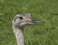 Nandu, Rhea americana Royalty Free Stock Images