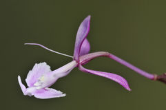 Nanegal Epidendrum Orchid Stock Photography