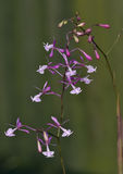Nanegal Epidendrum Orchid Stock Photos