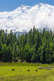 Nanga Parbat mountain and pine tree forest, Fairy Meadow, Pakist Stock Photography