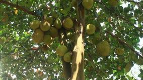 Nangka con frutta video d archivio