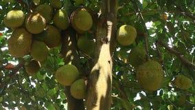 Nangka con frutta archivi video
