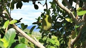Nangka con frutta stock footage
