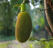 Nangka e giovani giache Frutta tropicale F selettiva Fotografie Stock Libere da Diritti