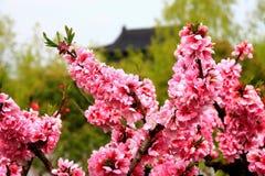 Nanhui Peach Blossom Village,Shanghai,China Royalty Free Stock Photos
