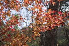 Nanjing were the maple leaf. Autumn in nanjing were maple leaves a piece of red, with a beautiful view Royalty Free Stock Photo