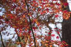 Nanjing were the maple leaf. Autumn in nanjing were maple leaves a piece of red, with a beautiful view Stock Images