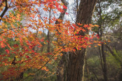 Nanjing were the maple leaf. Autumn in nanjing were maple leaves a piece of red, with a beautiful view Royalty Free Stock Image