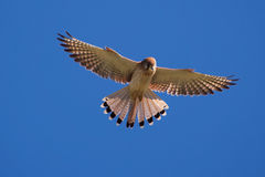 Nankeen Kestrel in the sky. Nankeen Kestrel in the blue sky, NSW, Australia Stock Image