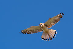 Nankeen Kestrel in the sky. Nankeen Kestrel in the blue sky, NSW, Australia Royalty Free Stock Photos