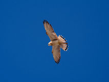 Nankeen Kestrel in the sky Royalty Free Stock Photo