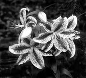 Nankeen lily Royalty Free Stock Image
