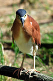Nankeen Night Heron Stock Photos