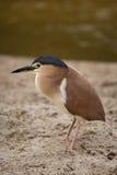 Nankeen night heron Royalty Free Stock Photo