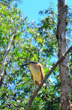 Nankeen night heron sit on a tree branch Royalty Free Stock Image