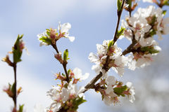 Nanking Cherry Blooms. Flowers of nanking cherry prunus tomentosa in spring Stock Photography