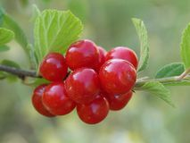 Nanking cherry closeup stock images