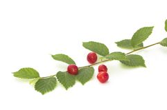 Nanking cherry Royalty Free Stock Photo