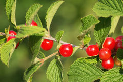The Nanking cherry Stock Photography