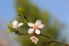 Nanking cherry Stock Photography