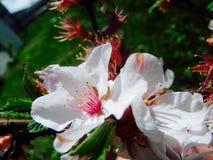 Nanking Czereśniowego okwitnięcia Prunus tomentosa zdjęcia royalty free