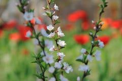 Nanking den körsbärsröda blomningen Royaltyfri Fotografi