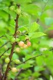 Nanking wiśnia (Prunus tomentosa) obraz stock